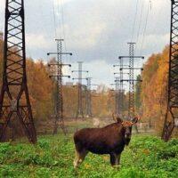 В Новосибирской области в зоне ЛЭП погибли олени и медведи