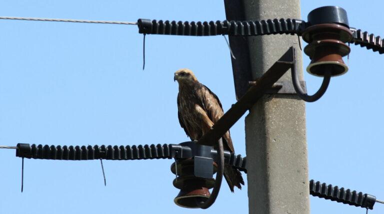 Союз охраны птиц России признал образцовым птицезащитный электросетевой полигон в Калмыкии