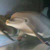 Создан робот-дельфин, который однажды сможет заменить животных в неволе в тематических парках
